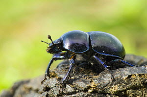 Dor Beetle (Geotrupes stercorarius) on dung, Wales, UK  -  Andy Sands