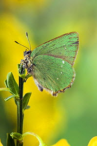 Green Hairstreak Butterfly (Callophrys rubi) at rest on Broom. UK. Captive.  -  Andy Sands