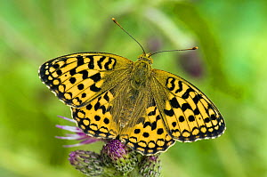 High Brown Fritillary Butterfly (Argynnis adippe) sunning on thistle. UK. Captive.  -  Andy Sands