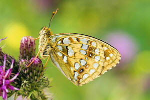 High Brown Fritillary Butterfly (Argynnis adippe) on thistle. UK. Captive.  -  Andy Sands