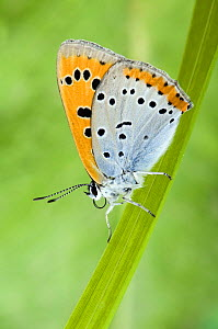 Large Copper Butterfly (Lucaena dispar) Wings closed on reed. UK. Captive.  -  Andy Sands