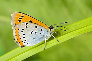 Large Copper Butterfly (Lucaena dispar) Wings closed with proboscis fully extended. UK. Captive.  -  Andy Sands