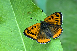 Large Copper Butterfly (Lucaena dispar) With wings open on Dock leaf. UK. Captive.  -  Andy Sands