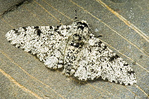 Peppered moth (Biston betularia) At rest on pebble, Hertfordshire, UK - Andy Sands
