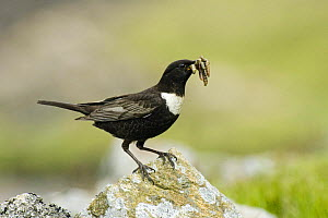 Ring Ouzel (Turdus torquatus) Male with beak full of food, Co. Durham, UK  -  Andy Sands