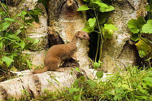 Weasel (Mustela nivalis) On Birch log. UK. Captive. - Andy Sands