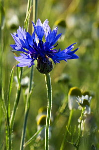 Cornflower (Centaurea cyanus) in flower, Luxembourg  -  Philippe Clement