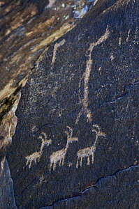 Ancient petroglyphs near Puerco Pueblo made by ancestral Puebloan people showing anthropomorphs (human-like figures) and zoomorphs (animal-like figures), Petrified Forest National Park, Arizona, USA  -  Philippe Clement