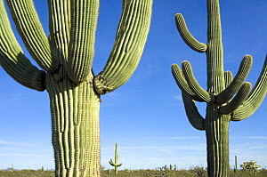 Saguaro cactus {Carnegiea gigantea}, Organ Pipe Cactus National Monument, Arizona, USA  -  Philippe Clement