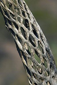 Cholla cactus skeleton {Cylindropuntia sp.} showing wooden tubular supporting structure with oval openings, Sonoran desert, Arizona, USA  -  Philippe Clement