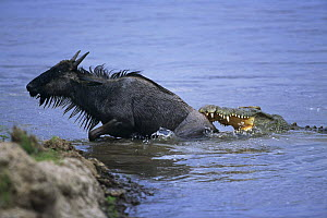 Wildebeest {Connochaetes taurinus} climbing out of river to escape the jaws of a Nile crocodile {Crocodylus niloticus} Masai Mara GR, Kenya - Anup Shah