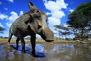 Low angle Warthog {Phacochoerus aethiopicus} about to wallow in mud, Serengeti NP, Tanzania  -  Anup Shah