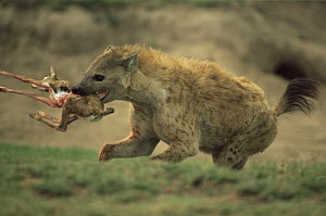 Spotted hyaena {Crocuta crocuta} running with prey of Thomson's gazelle fawn, Serengeti NP, Tanzania  -  Anup Shah