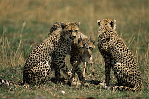 Cheetah {Acinonyx jubatus} cubs with Thomson gazelle fawn prey, which their mother has caught and maimed and they will now kill, Masai Mara GR, Kenya  -  Anup Shah