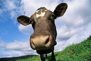 Domestic cow {Bos taurus} sniffing camera, milking shorthorn breed, USA  -  Lynn M Stone