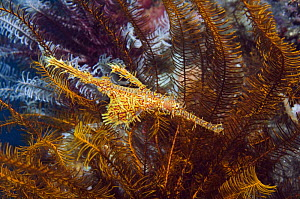 Ornate ghostpipefish {Solenostomus paradoxus} camouflaged amongst crinoids, Lembeh Strait, Sulawesi, Indonesia  -  Georgette Douwma