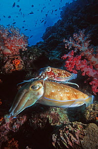 Pharao cuttlefish (Sepia pharaonis), very small male guarding large egg-laying female. Andaman Sea, Thailand.  -  Georgette Douwma