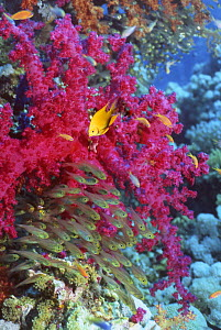 Golden damselfish (Amblyglyphidodon aureus) and Pygmy sweepers (Parapriacanthus ransonetti) with soft / tree coral (Dendronephthya sp.) Andaman Sea, Thailand. - Georgette Douwma