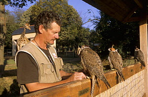 Captive falcons with trainer, giraffe in the background, Falconry show at the Chateau de la Bourbansais, Brittany, France  -  Eric Baccega