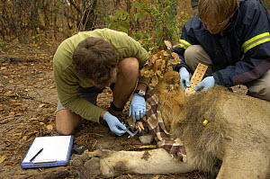 Scientist measuring teeth whilst other fits collar on African lion {Panthera leo} Hwange national park, Zimbabwe  -  Andrew Harrington