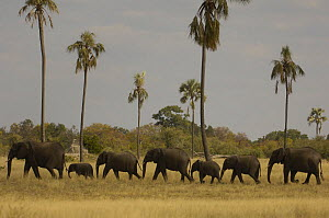 Procession of African elephants {Loxodonta africana} walking in line with palms in background, Hwange national park, Zimbabwe  -  Andrew Harrington