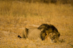 African lion {Panthera leo} lying in wait for prey in grassland, Hwange national park, Zimbabwe  -  Andrew Harrington