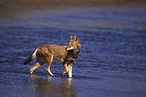 Simien jackal / Ethiopian wolf {Canis simensis}crossing Web river, Bale mountains, Ethiopia.  -  Andrew Harrington