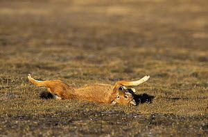 Simien jackal / Ethiopian wolf {Canis simensis} rolling on back in grass, Bale mountains, Ethiopia.  -  Andrew Harrington