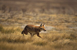 Simien jackal / Ethiopian wolf {Canis simensis}running in grassland, Bale mountains, Ethiopia  -  Andrew Harrington