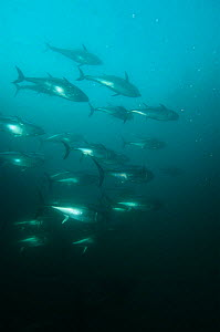 Blue fin tuna in fish farm in south Japan in Kusimoto  -  Dan Burton