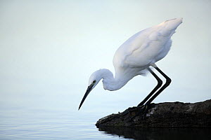 Little egret {Egretta garzetta} at waters edge hunting sequence 1/3, Donana NP, Sevilla, Spain  -  Jose B. Ruiz