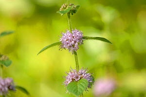 Close-up of flowers on Corn Mint {Mentha arvensis} Bedford Purlieus, Cambridgeshire, UK, July  -  David Pike