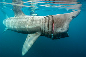 Basking shark {Cetorhinus maximus} feeding, UK mouth open  -  Dan Burton