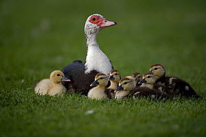 Muscovy Duck {Cairina moschata} with ducklings, UK  -  John Cancalosi