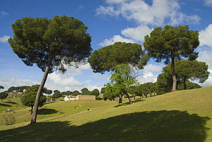 Stone Pine trees (Pinus pinea) and farmhouse amongst cattle pasture in Extremaduran landscape, Spain  -  Roger Powell
