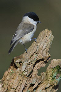 Willow tit {Poecile montanus} perching on stump, Northumberland, UK  -  Roger Powell