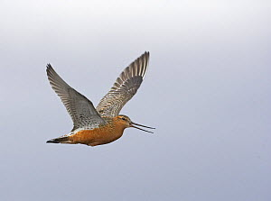 Bar-tailed Godwit (Limosa lapponica), adult with summer plumage in flight. Norway, Scandinavia. June.  -  Markus Varesvuo