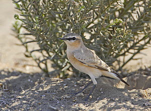 Isabelline Wheatear (Oenanthe isabellina), adult standing in sand. Sultanate of Oman, Arabia. November.  -  Markus Varesvuo