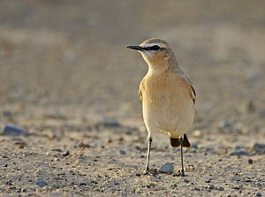 Isabelline Wheatear (Oenanthe isabellina), adult standing on sandy ground. Sultanate of Oman, Arabia. March.  -  Markus Varesvuo