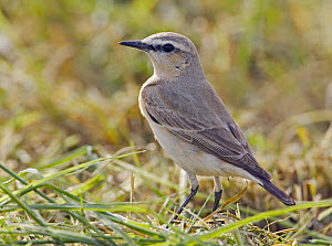 Isabelline Wheatear (Oenanthe isabellina), adult standing on grassy ground. Sultanate of Oman, Arabia. March. - Markus Varesvuo