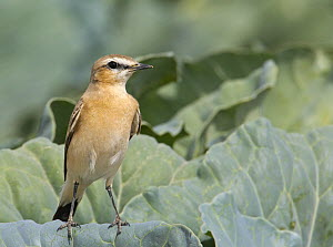 Isabelline Wheatear (Oenanthe isabellina), adult perched on leaves. Sultanate of Oman, Arabia. March. - Markus Varesvuo