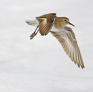 Temminck's Stint (Calidris temminckii), adult with summer plumage in flight. Norway. June.  -  Markus Varesvuo