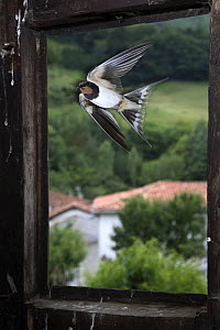 Barn swallow {Hirundo rustica} flying through barn window, Potes, Picos de Europa, Asturias, Spain - Jose B. Ruiz