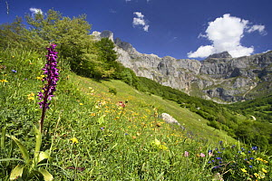 Southern early purple orchid {Orchis olbiensis} flowering in meadow, Picos de Europa, Asturias, Spain - Jose B. Ruiz