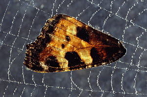 Wing of Small tortoiseshell butterfly {Aglais urticae} caught in spider's web, UK  -  Chris Packham