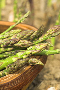 Asparagus {Asparagus officinalis} freshly harvested spears in trug with bed in background, UK, June  -  Gary K. Smith