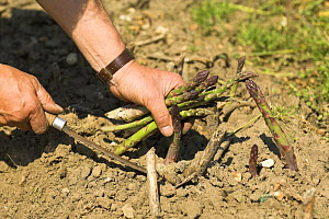 Gardener cutting Asparagus spears with traditional knife , UK, June  -  Gary K. Smith