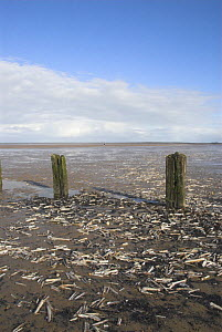 Razor shells {Ensis siliqua} and weathered posts, exposed at low tide, Norfolk UK,  -  Gary K. Smith