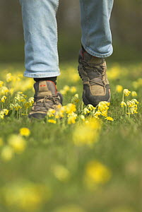 Person walking over and damaging mature Cowslip pasture {Primula veris} Norfolk, UK, April - Gary K. Smith