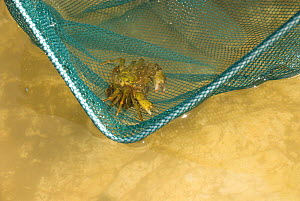 Gilly / Common shore crab {carcinus maenus} in child's rockpooling net, Norfolk, UK, June  -  Gary K. Smith
